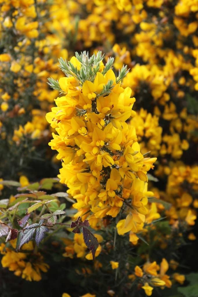 Scotland wildflower