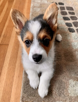 Photo of corgi puppy