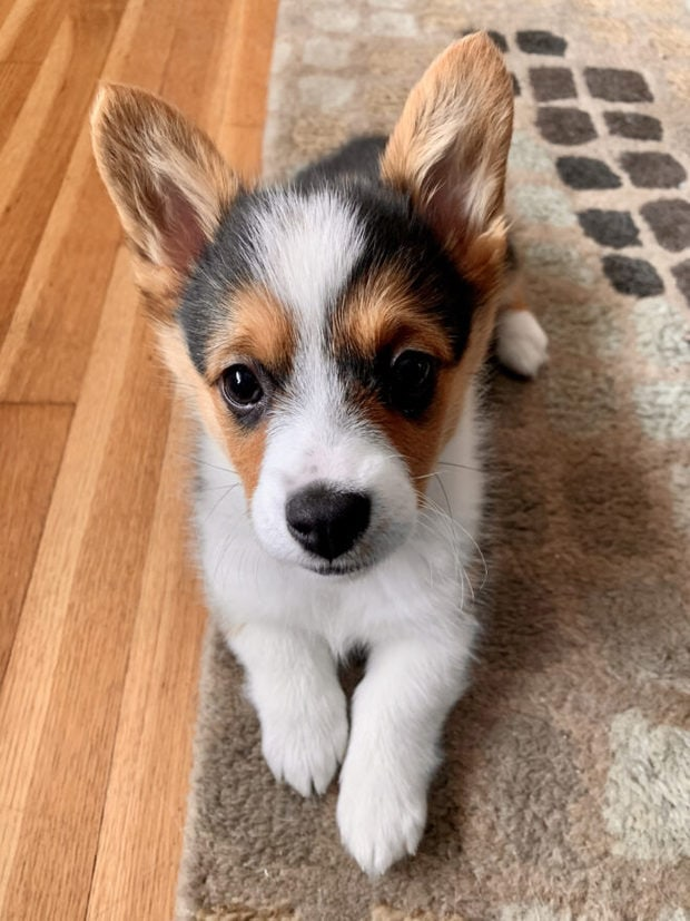 Photo of corgi puppy