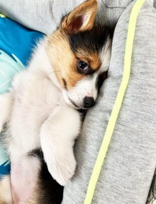 Photo of tai-color corgi puppy
