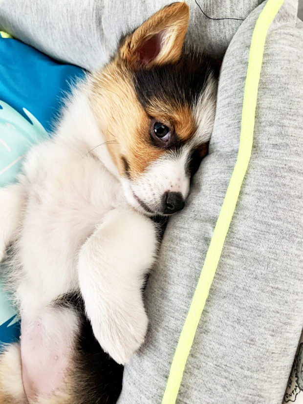Photo of tai-color corgi puppy