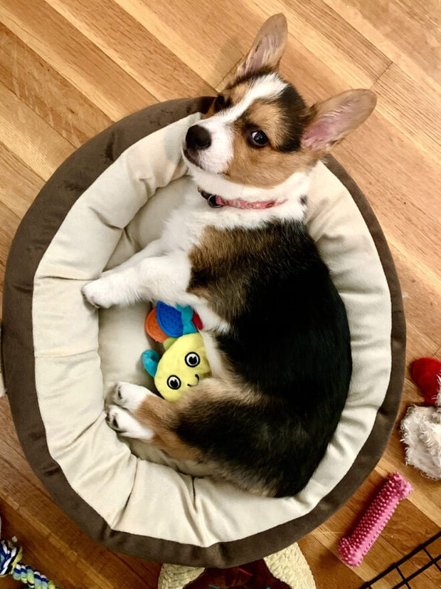 Marzipan the Corgi photo social distancing