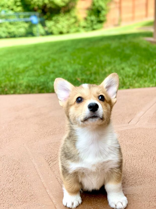 Mochi the Corgi @lilmochithecorgi photo