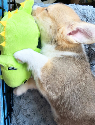 Mochi the corgi sleeping picture
