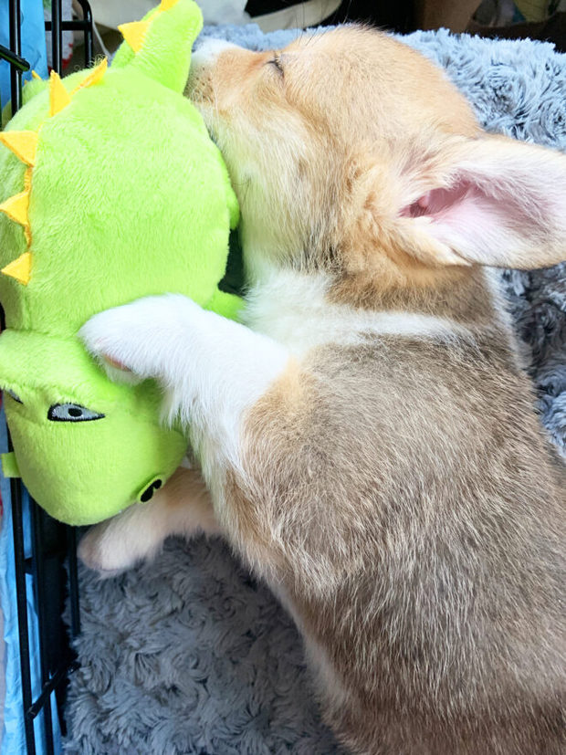 Mochi the corgi sleeping picture