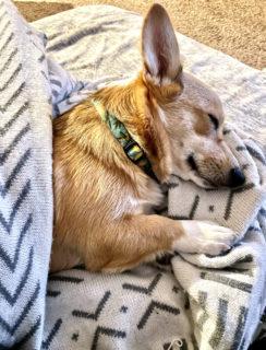 Sleeping corgi photo